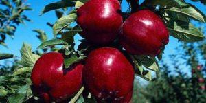 Сочные красные плоды
