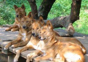 Свора рыжих псов