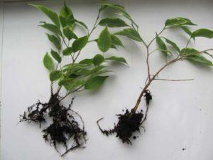 Высаживать растение