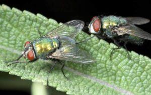 Зеленые мухи