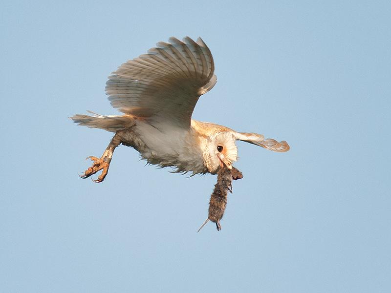к чему приснилось ловить сов