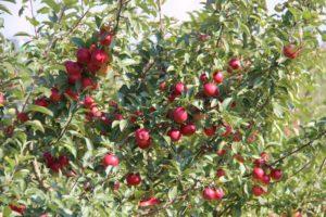 Плодоносящие деревья