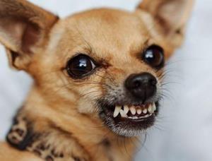 Агрессивный рыжий пес