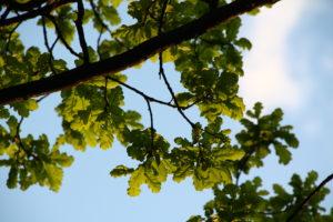 Дубовые ветви