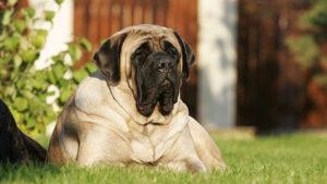 Огромная собака