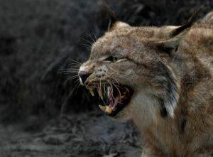 Хищник нападает