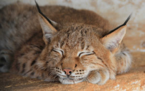 Спящая дикая кошка