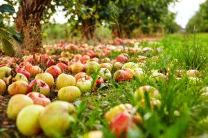 Побирать фрукты с земли