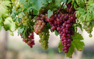 Спелый виноград