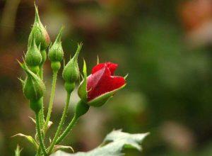Нераспустившие цветы