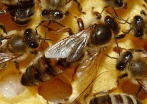 Пчелиная маточка
