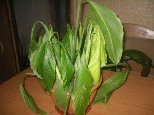 Чахлое растение